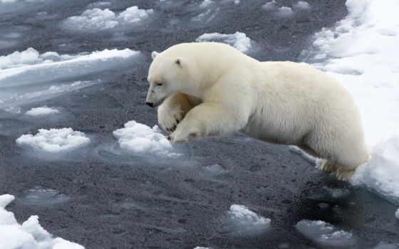 медведь, white, polar