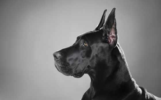 mastiff, german, породы, собак, особенности, история, характер,