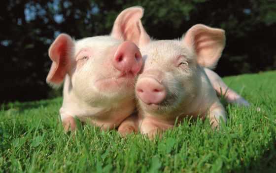 свиней, свиньи, свинья, техника, новости, farming, хозяйстве, регионе, нояб, everything,