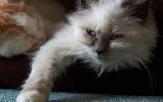кот, лапа, tapet, definition, high,