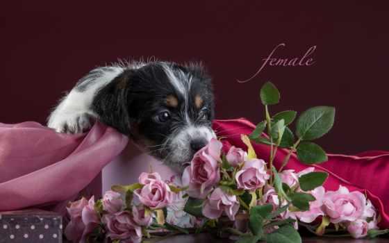cvety, собаки, розы, ткань, щенок, рассел, jack, бультерьер,