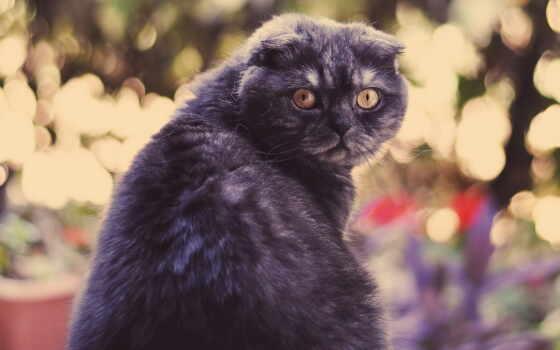 вислоухий, кот, scottish, black, see, котенок, создать