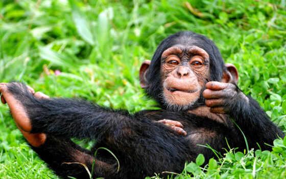 обезьяна, трава, шимпанзе, примат, зелёная, язык, поза, черная, смешной,