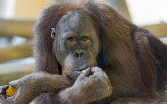 животные, взгляд, обезьяны