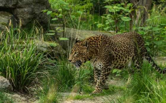 леопард на природе