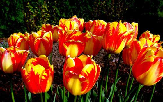 тюльпаны, цветы, день