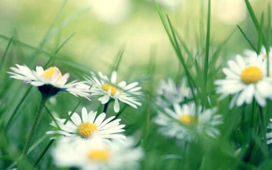 ромашки, цветы, трава