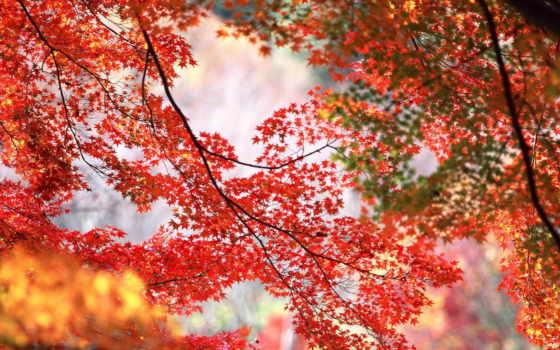 красные, листья, осень