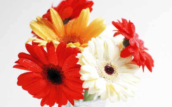 цветы, герберы, телефон