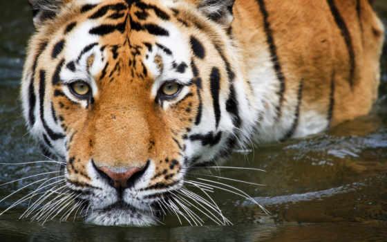 tigre, fondos, para
