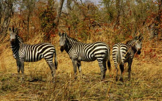 zhivotnye, зебры, дикой, природе, животных, дикие, природа,
