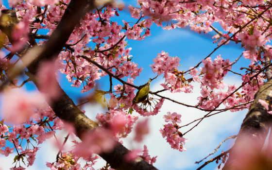 Сакура, japanese, цветение, весна, trees, цветущая, дерево, cvety, park, fone,