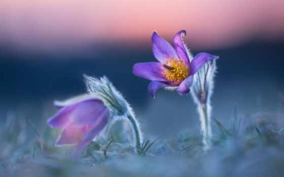 cvety, природа, purple, макро, flowers, осень, весна,