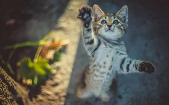 кот, domestic, cute, catling, глаз, blue, котенок, бакенбарды, kuce, short
