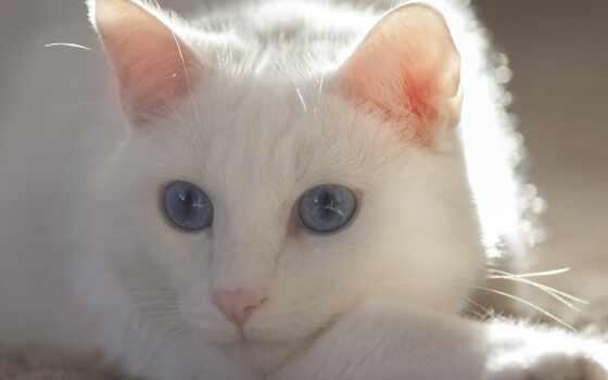 кот, хилер, глаз, sociolog, blue, animal, домашние, have, land, citizen, survey