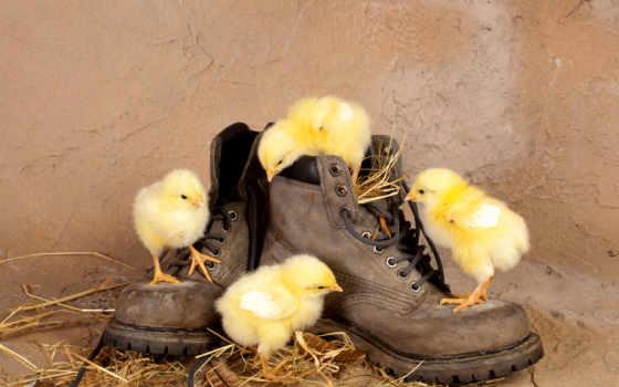 животные, молодой, цыплята