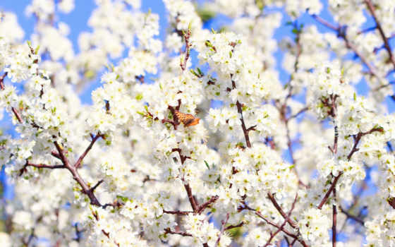 ,цветы,вишня,весна,