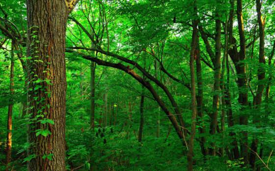 trees, чаща, листва, зеленые,