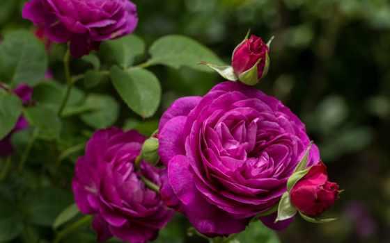 розы, роза, cvety, heidi, klum, бутоны, фиолетовая, roses,