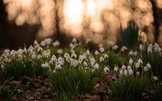 подснежники, весна, cvety, белые, листва, поляна, лесу,