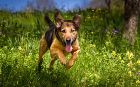 german, rottweiler, овчарка, mix, собака, фото, stock, порода, pictures,