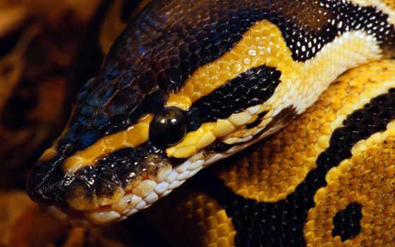 snake, reptile, змеи, змей, голова, змеями, окрас,
