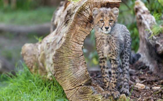 гепард, можно, animal