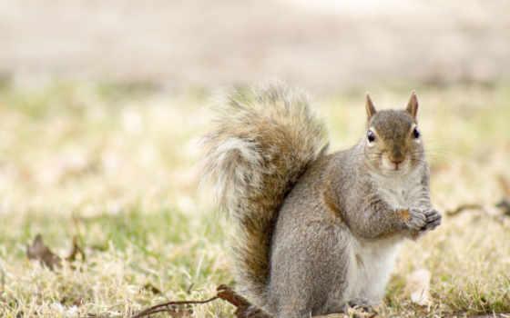 фона, squirrel,