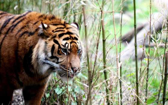 тигр, природа