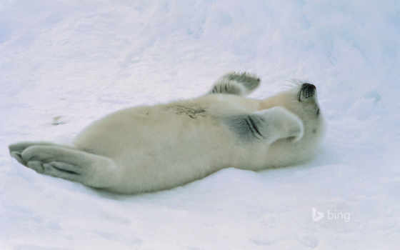 phoque, bing, seal, images, bebe, canada, daily, free,