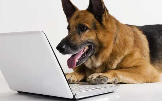 овчарка, ноутбук, собака, техника, животные, немецкая, белый,