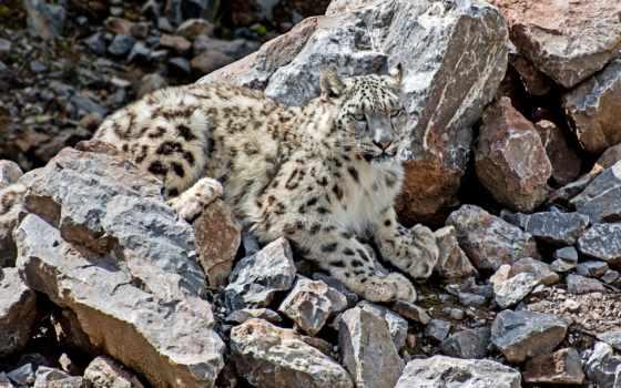 леопард, снег, красивые