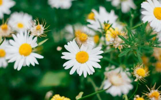 daisy, aliexpress, pixabay, free, цена, китаянка, фото, flowers,