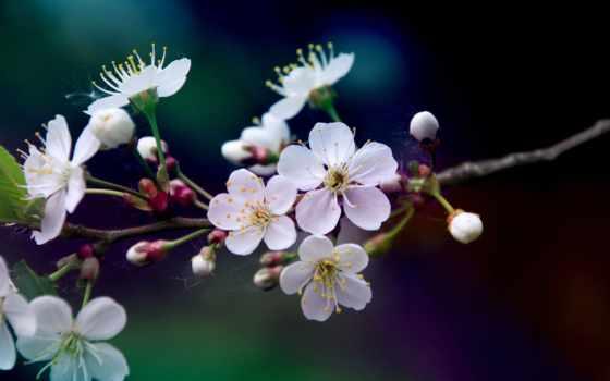 cherry, cvety, branch, цветение, белые, лепестки, макро, вишни, весна, размытость, цветет,