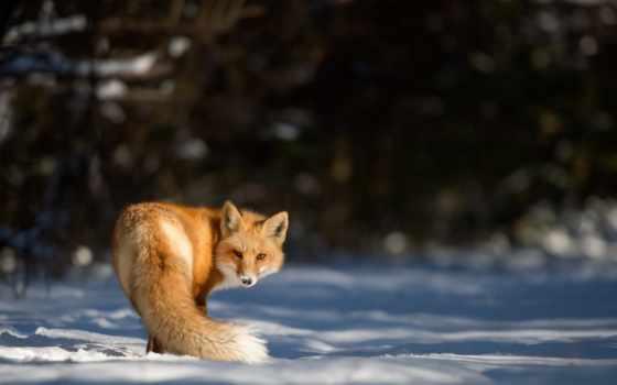 róka, animal, тел, фокс, sz, stock, winter, amino, anime, снег,