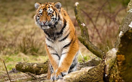 фотообои, купить, тигр