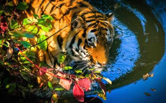тигр, water, leaf, глаза, осень, купаться, branch, купальный, пруд, морда