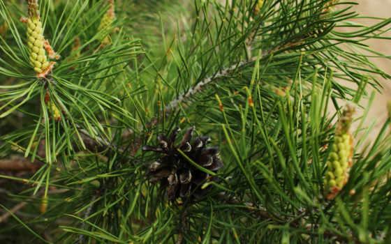 pine, cone, ветки