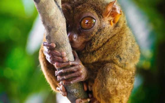 долгопят, приматов, род