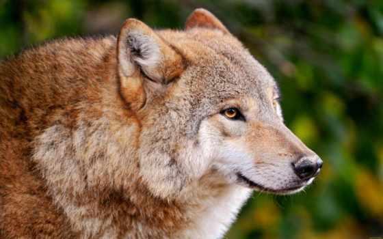 волк, хищник, волков, подборка, серый, rufus, лес, canis, злой, ужасный,