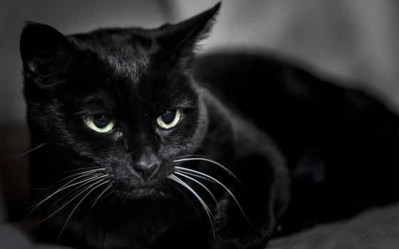 кот, черная, кошак, black, кошки, zhivotnye, kotyara,