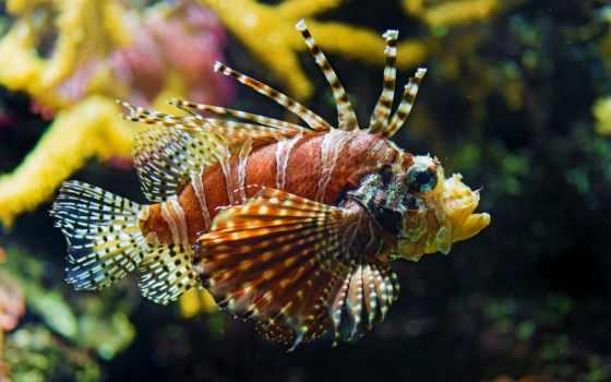 fish, ocean, крылатка, pacific, coral,
