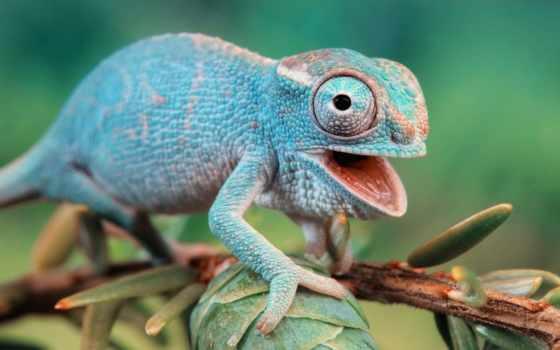 ящер, chameleon, reptile, pangolin, branch, fauna, природа, макро, яndex,