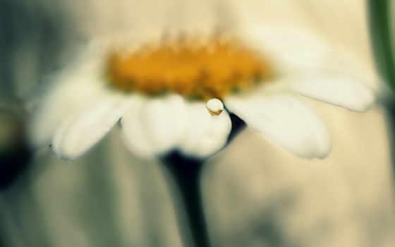 ромашка, daisy, макро, drop, petals, растение, free,