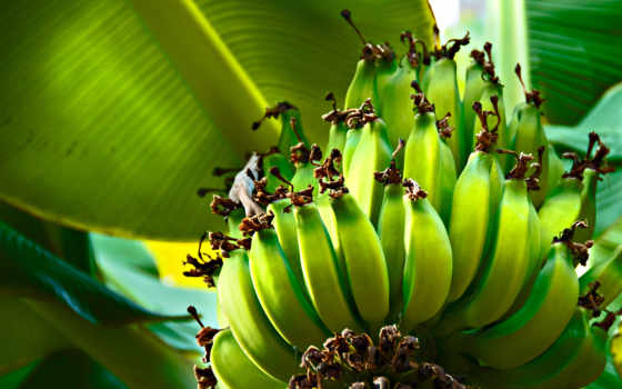 дерево, банан