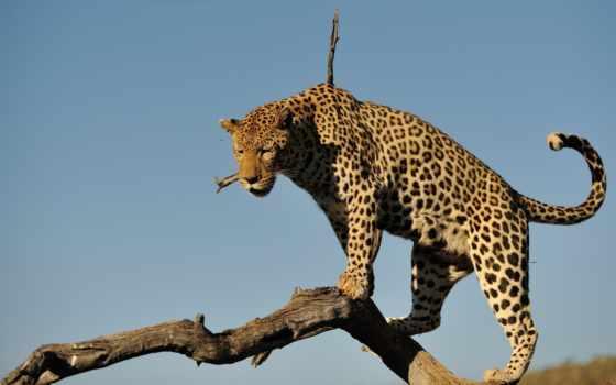 леопард, животные, категории, кошка, бревно, небо, дикая, est, хищник,
