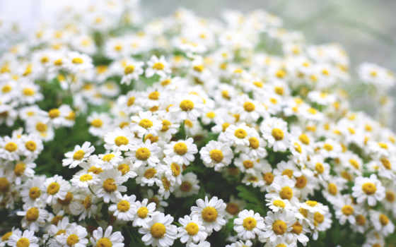 ромашки, цветы, макро