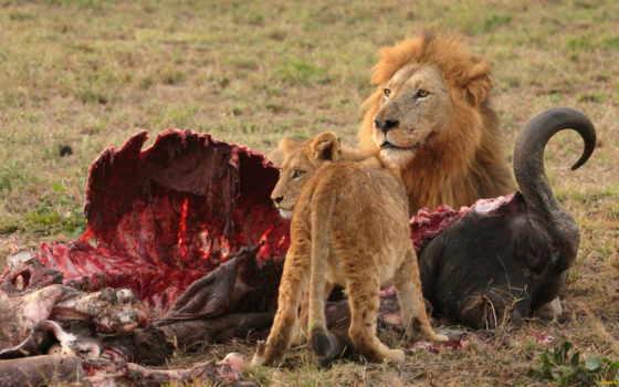 львів, львы, охоты, льва, буйвола, за, янв,