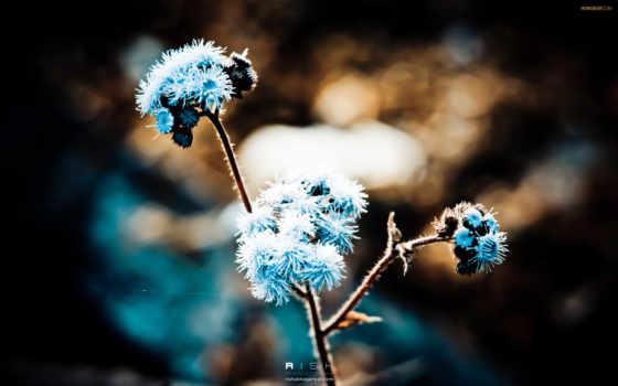 blue, одуванчик, free