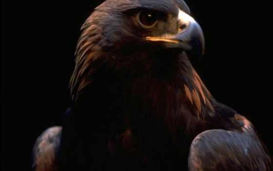 орлан, птицы, орлы, зоркий, глаз, кб, zhivotnye,